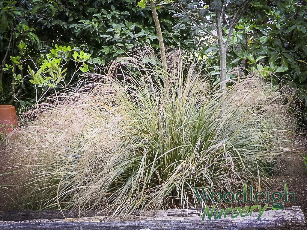 Anemanthele lessoniana (Gossamer Grass)