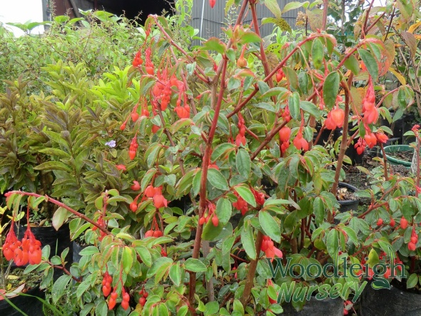 Begonia fuchsioides Red Cascade