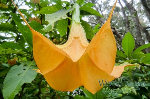 Brugmansia aurea (Golden Angel's Trumpet)