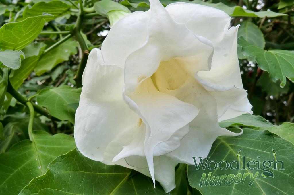 Brugmansia Double White