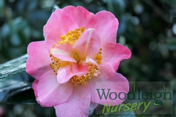 Camellia Demi Tasse
