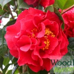 Camellia Dr Clifford Parks