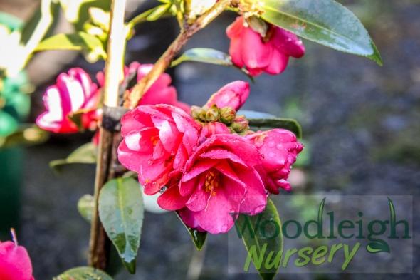 Camellia Fairy Wand