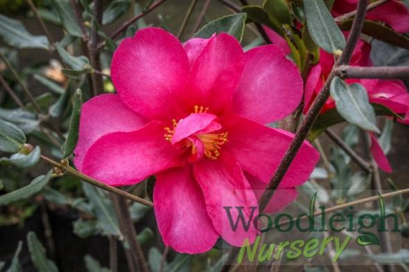 Camellia Hiryu (Kanjiro)