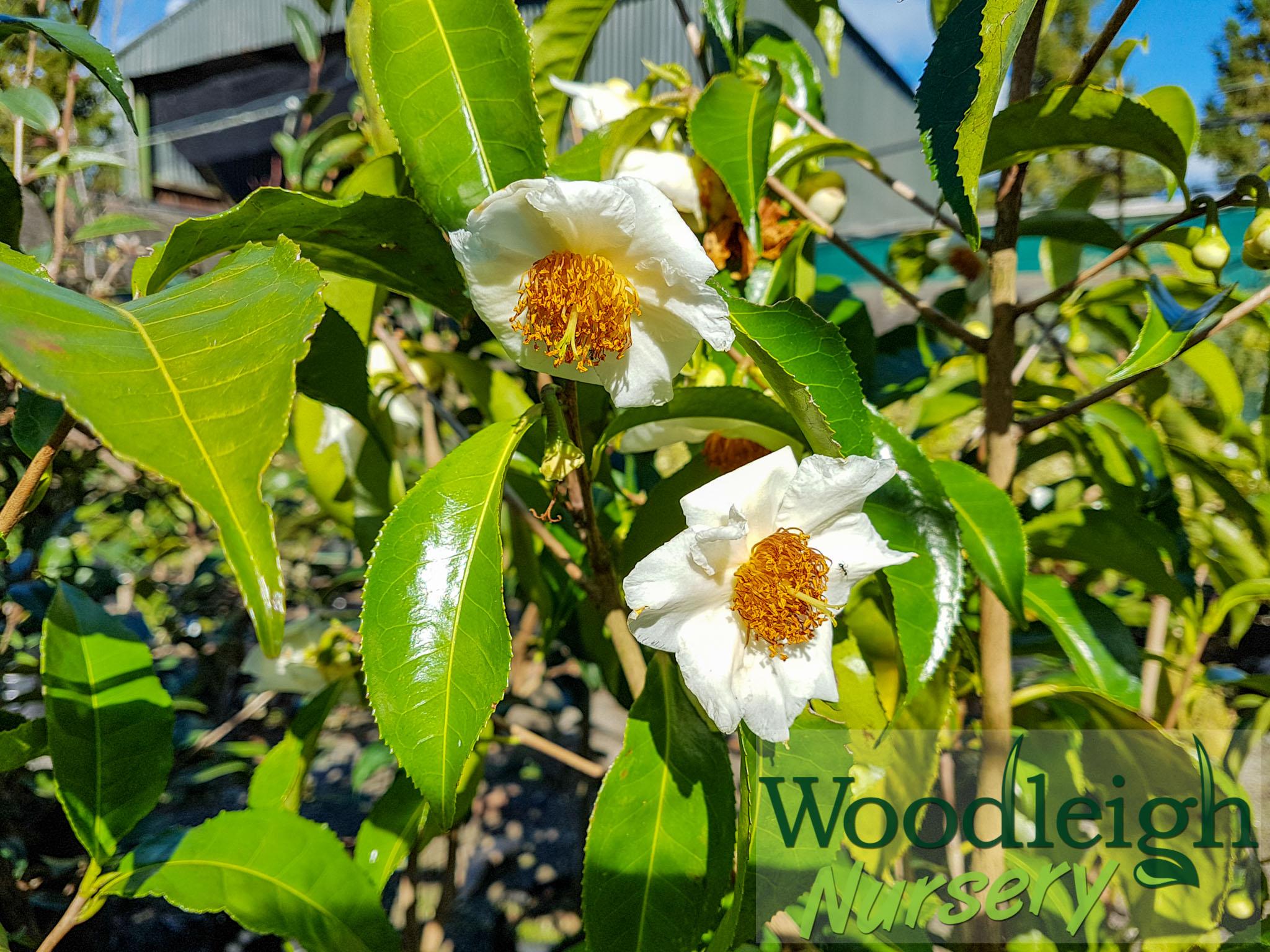 Camellia irrawadiensis