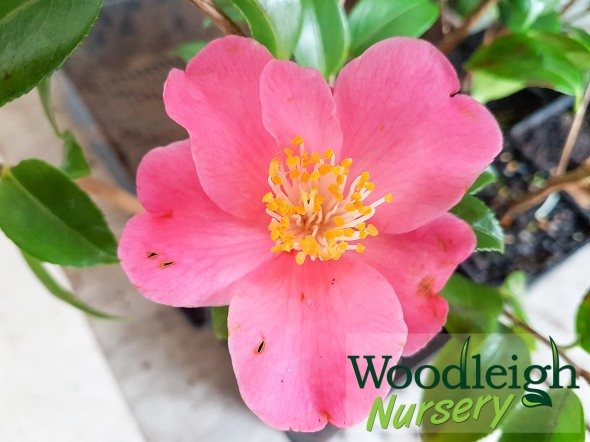 Camellia Koto-no-kaori