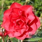 Camellia Les Jury