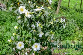 Camellia Lily Pons