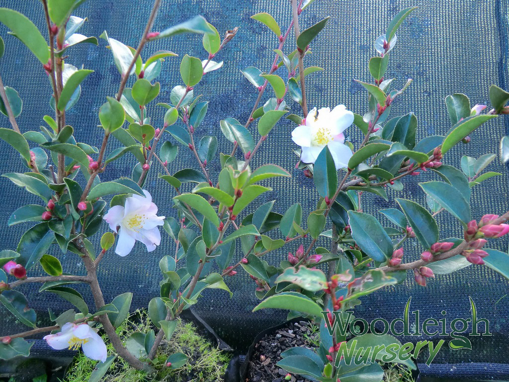 Camellia lutchuensis Fairy Blush