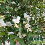 Camellia lutchuensis