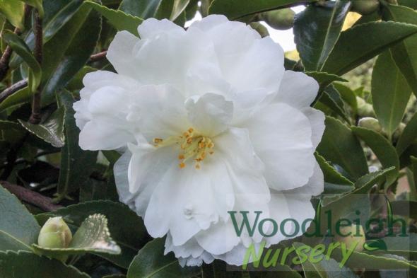 Camellia Mine No Yuki
