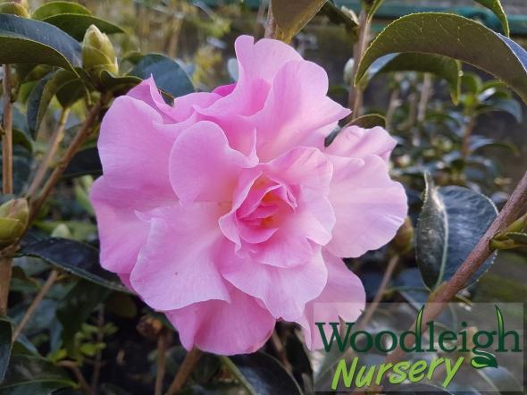 Camellia reticulata Mystique