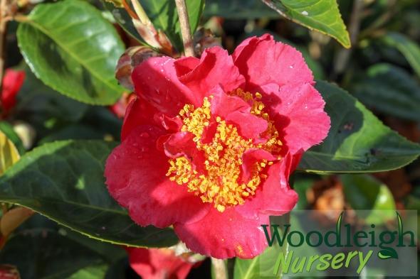Camellia Rendezvous