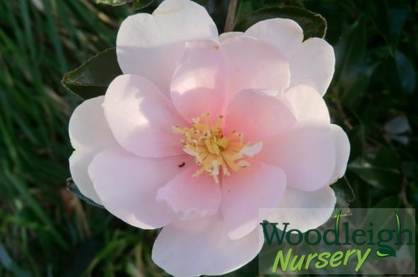 Camellia sasanqua Jean May