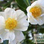 Camellia Setsugeka