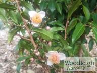 Camellia sinensis rosea