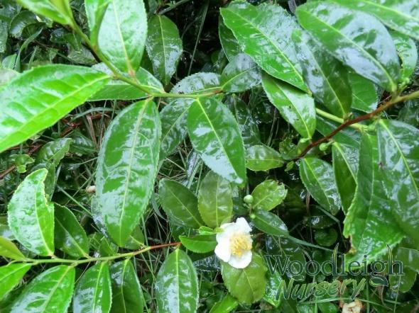 Camellia sinensis (Tea Camellia)