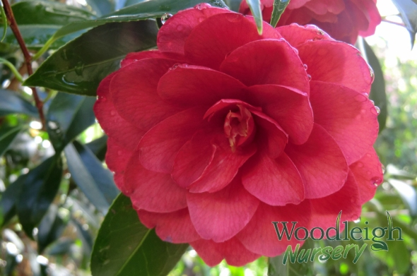 Camellia Twinkle Star