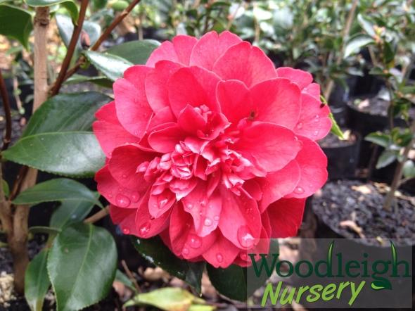 Camellia Volcano