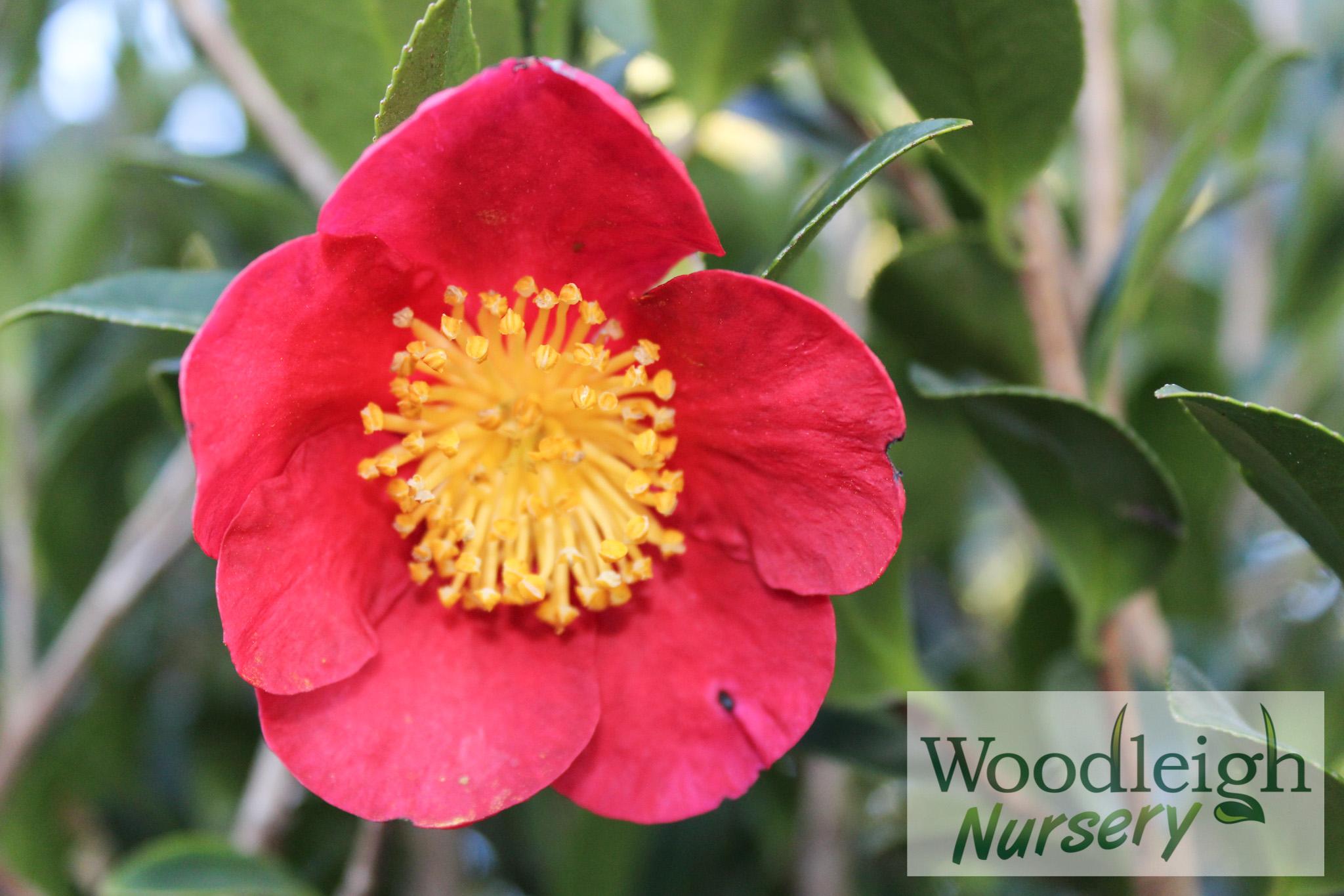 Camellia Yuletide
