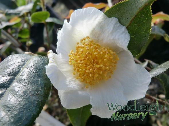 Camellia yunnanensis