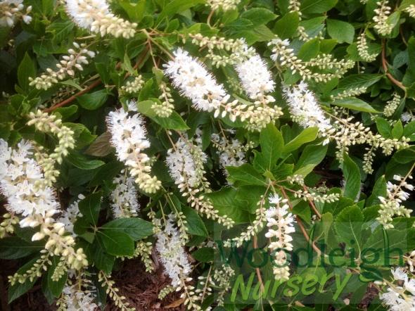 Clethra alnifolia