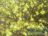Corylopsis pauciflora (Witch Hazel)