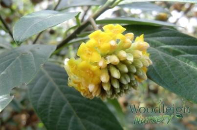Edgeworthia gardeneri