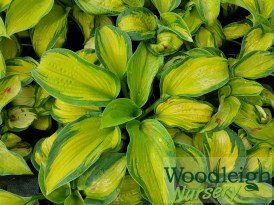 Hosta Colour Glory