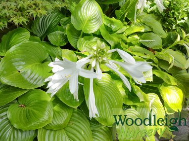 Hosta plantaginea Grandiflora-01