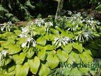 Hosta plantaginea Grandiflora