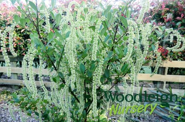 Itea illicifolia