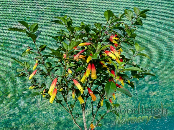 Jacobinia pauciflora (Justicia rizzinii)