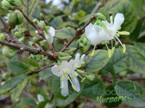 Lonicera x purpusii 'Winter Beauty'