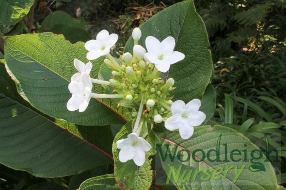 Luculia grandiflora