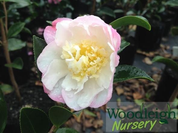Camellia Paradise Vanessa