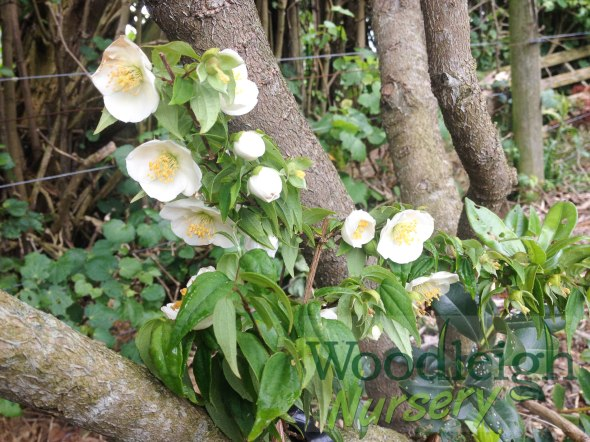 Philadelphus mexicanus (Mexican Orange Blossom)