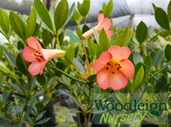 Rhododendron vireya Jiminy Cricket