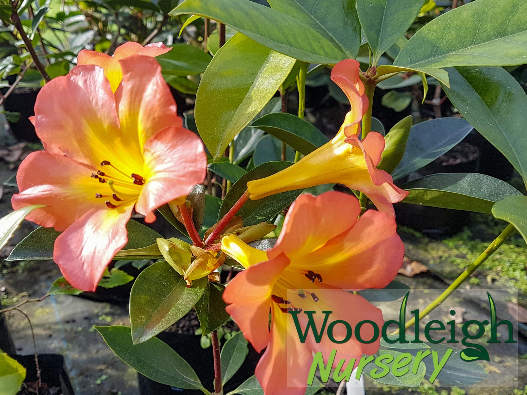 Rhododendron vireya Tropic Glow