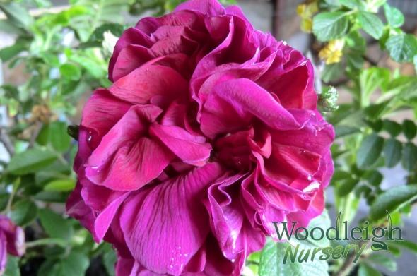 Rosa Roseraie de L'Hay
