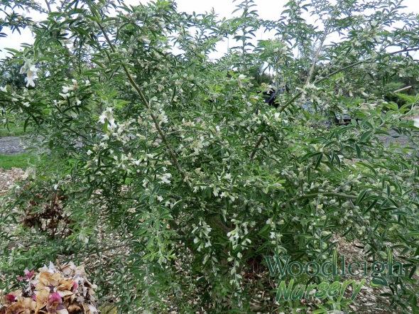 Tree lucerne (Tagasaste)