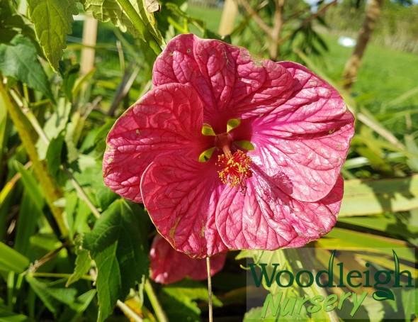 Abutilon Candyfloss