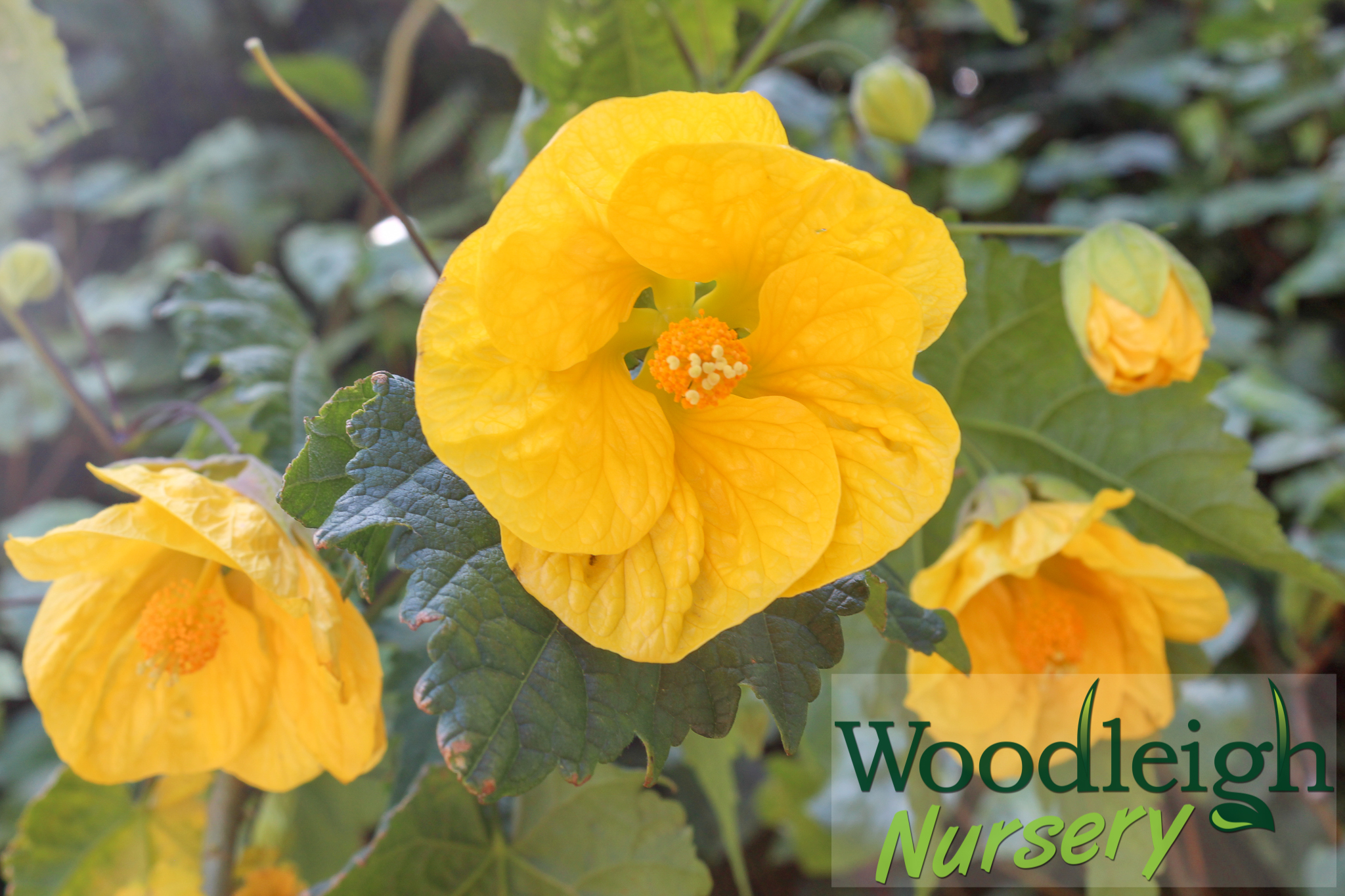 Abutilon Golden Fleece