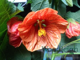 Abutilon Orange Bells