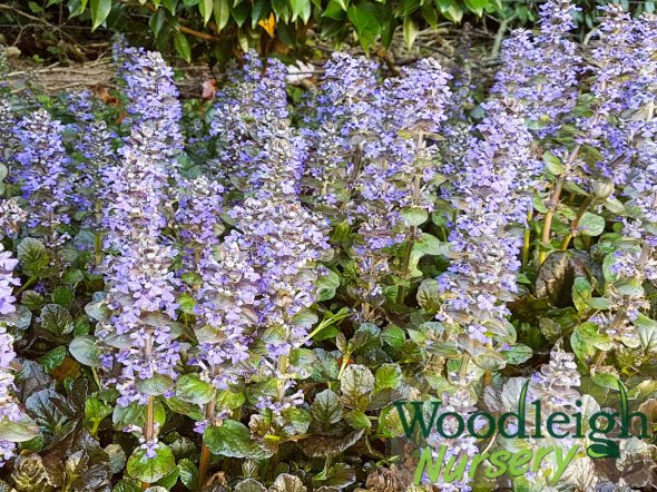 Ajuga Jungle Beauty