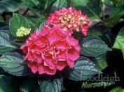 Hydrangea macrophylla Red Glow (Rheinland)