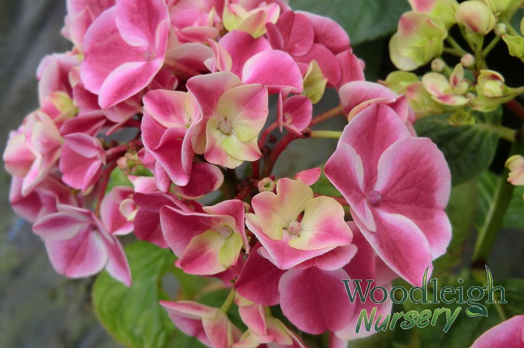 Hydrangea macrophylla Sensation (Harlequin)