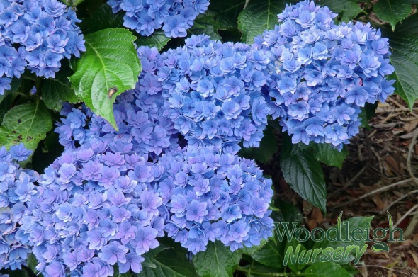 Hydrangea macrophylla Together (Youme)