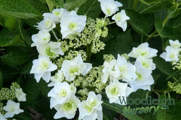 Hydrangea macrophylla Trophy