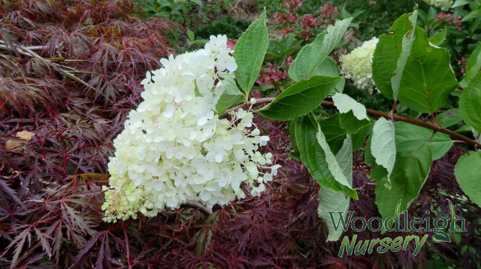 Hydrangea paniculata Grandiflora (PeeGee)